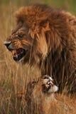 leones Imagenes de archivo