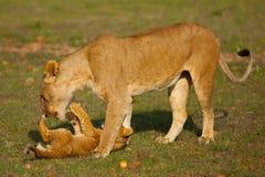 leones Foto de archivo