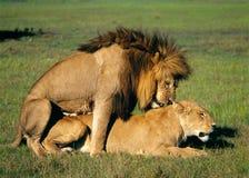 leones Foto de archivo libre de regalías