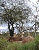 leones Imagen de archivo
