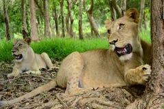 leones Imágenes de archivo libres de regalías