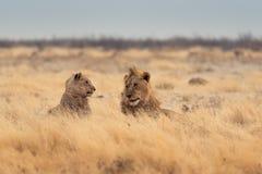 leones Fotografía de archivo
