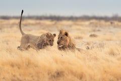 leones Fotos de archivo libres de regalías