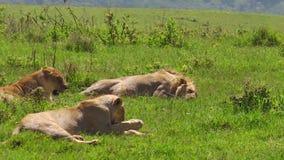 Leones africanos en el cráter de Ngorongoro almacen de metraje de vídeo