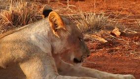 Leones bien alimentados que descansan en la reserva del juego de Madikwe almacen de metraje de vídeo