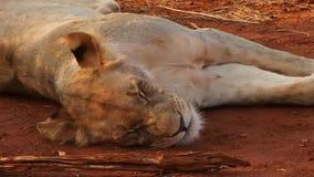 Leones bien alimentados que descansan en la reserva del juego de Madikwe almacen de video