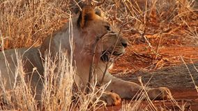 Leones bien alimentados que descansan en la reserva del juego de Madikwe metrajes