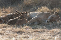 Leones, Botswana Imágenes de archivo libres de regalías