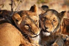 Leones cerca de Victoria Falls en Botswana, África Foto de archivo libre de regalías