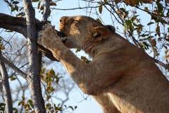 Leones cerca de Victoria Falls en Botswana, África Fotos de archivo