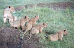 leones con los cachorros imagenes de archivo
