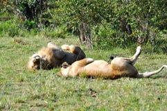 Leones de acoplamiento en Masai Mara 3 Fotografía de archivo libre de regalías