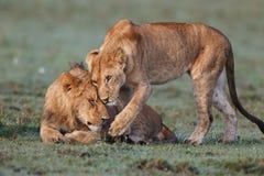 Leones de la abrazo en Masai Mara Fotografía de archivo