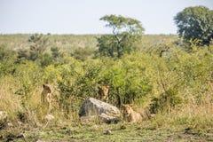 Leones de las hembras que ocultan en el arbusto, parque de Kruger fotografía de archivo