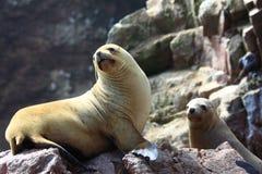 Leones de mar Imágenes de archivo libres de regalías