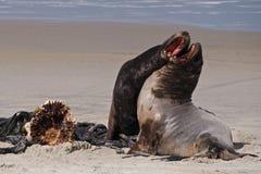 Leones de mar Fotografía de archivo