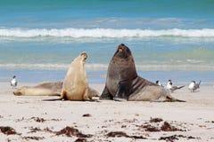 Leones de mar Fotografía de archivo libre de regalías
