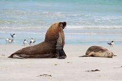 Leones de mar Fotos de archivo