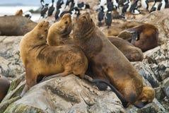 Leones de mar Imagen de archivo libre de regalías