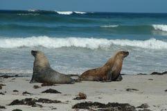 Leones de mar australianos Imagen de archivo libre de regalías