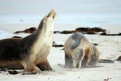 Leones de mar australianos Fotos de archivo libres de regalías