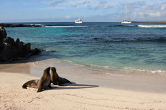 Leones de mar de las Islas Gal3apagos Imagenes de archivo