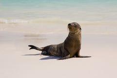 Leones de mar de las Islas Gal3apagos Imagen de archivo libre de regalías