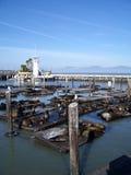 Leones de mar de San Francisco Bay Imagen de archivo libre de regalías