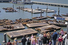 Leones de mar del embarcadero 39 de San Francisco Foto de archivo