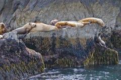 Leones de mar en costa rocosa Imagen de archivo libre de regalías