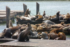 Leones de mar en el embarcadero 39 Imágenes de archivo libres de regalías