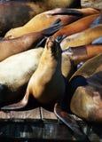 Leones de mar en el embarcadero 39, San Francisco Fotografía de archivo libre de regalías