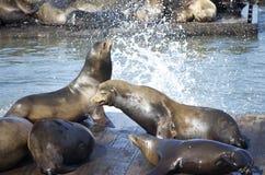 Leones de mar en el frisco Imagenes de archivo