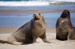 Leones de mar en la playa Fotos de archivo libres de regalías