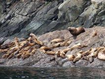 Leones de mar en las rocas Foto de archivo libre de regalías