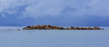Leones de mar estelares Fotografía de archivo