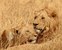 Leones de reclinación en Serengeti, Tanzania Imágenes de archivo libres de regalías