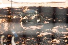 Leones del bebé el dormir Imagenes de archivo