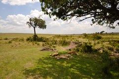 Leones del Masai Mara 3 Foto de archivo libre de regalías
