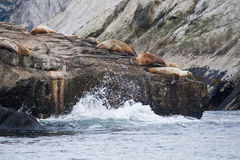 Leones del sello en línea de la playa rocosa Fotografía de archivo