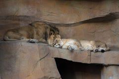 Leones el dormir Foto de archivo libre de regalías