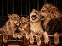 Leones en circo foto de archivo