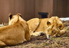 Leones en descanso Imagen de archivo libre de regalías