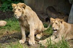 Leones en el parque zoológico Foto de archivo libre de regalías