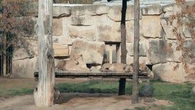 Leones en jardín zoológico en Praga, República Checa Los leones están tomando el sol en The Sun en el recinto del parque zoológic almacen de metraje de vídeo