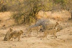 Leones en la caza Fotografía de archivo libre de regalías