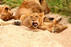 Leones en la reserva del juego de la arena de Sabi Foto de archivo