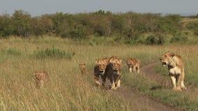 Leones en los llanos de Mara almacen de metraje de vídeo