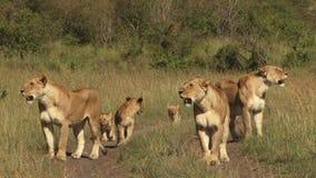 Leones en los llanos de Mara metrajes