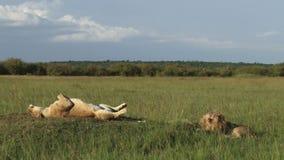 Leones en los llanos de Mara almacen de video